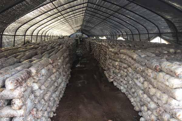 Norcent Agriculture Mushroom