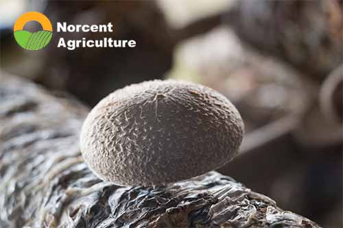 shiitake mushrooms_Norcent